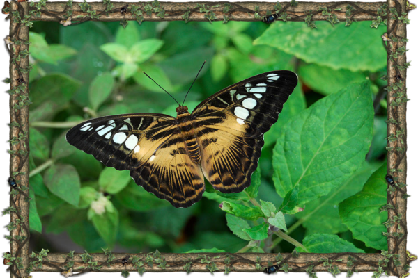 Parthenos Sylvia - South Asia