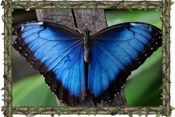 Morpho Didius - South America