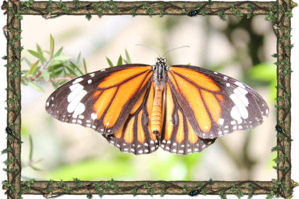 the-monarch-danaus-plexippus